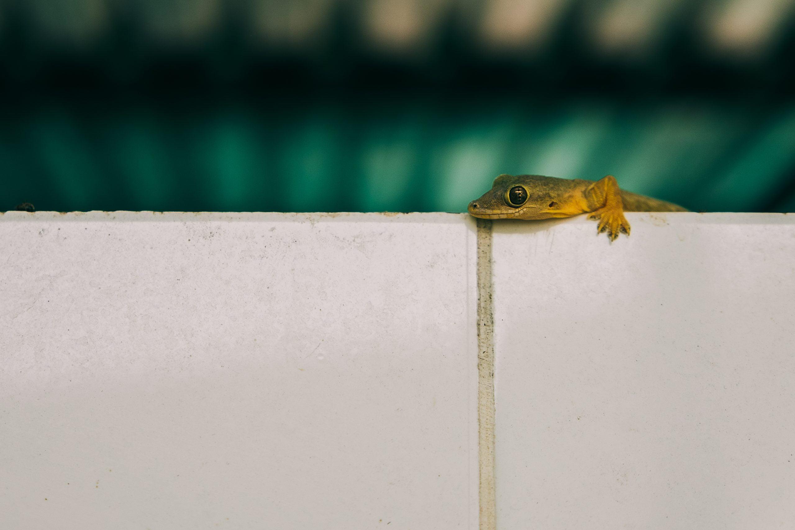 Close up to a house gecko lizard on wall